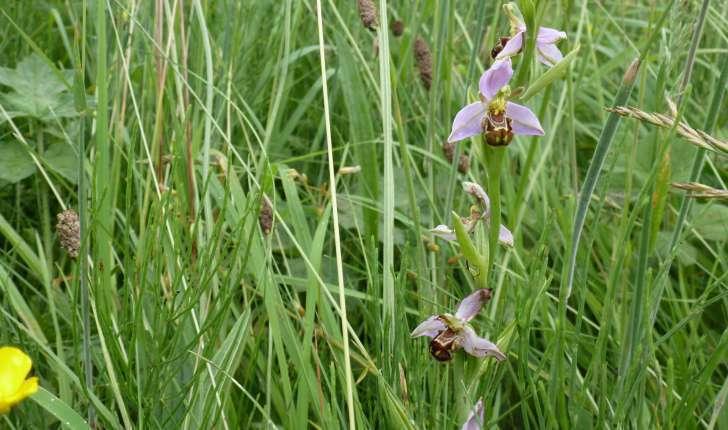 Ophrys apifera (Huds., 1762)