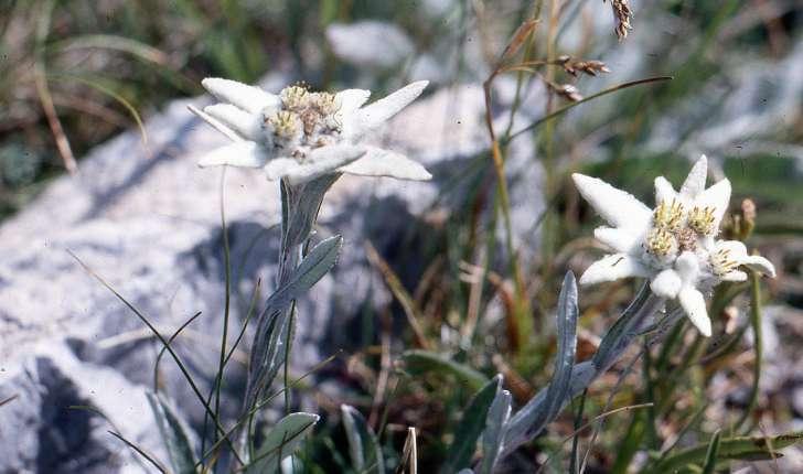 Leontopodium nivale (Ten.) Huet ex Hand.-Mazz., 1927