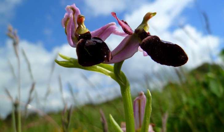 Ophrys de Bertoloni (Crédits : Marina del Castell)