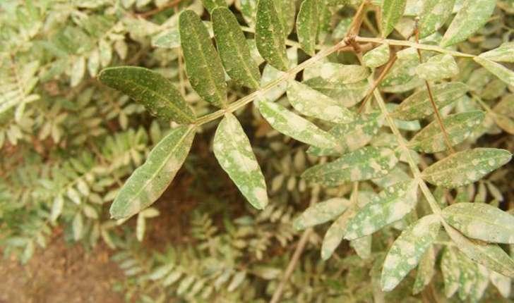 Pistacia lentiscus (Linné, 1758)