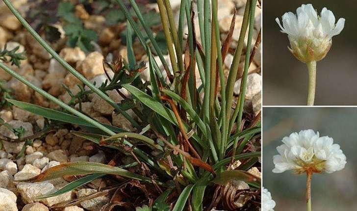 Armeria arenaria subsp. pradetensis (Médail, Baumel & Auda, 2009)