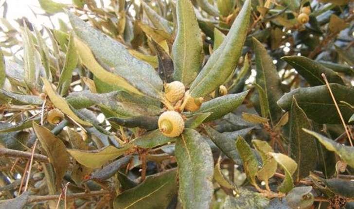 Quercus suber (Linné, 1753)