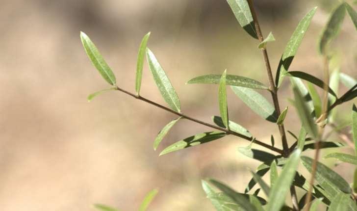 Phillyrea angustifolia (Linné, 1758)
