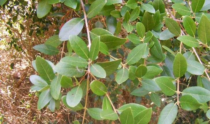 Phillyrea latifolia (Linné, 1753)