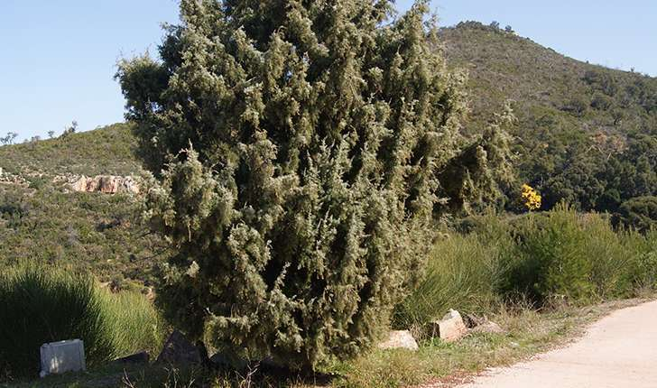 Juniperus oxycedrus (Linné, 1753)
