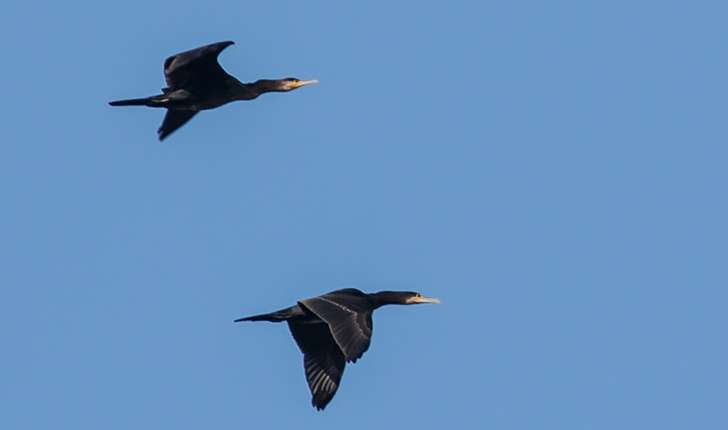 Phalacrocorax carbo (Linné, 1758)