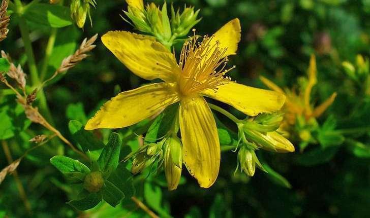 Hypericum sp (L., 1753)