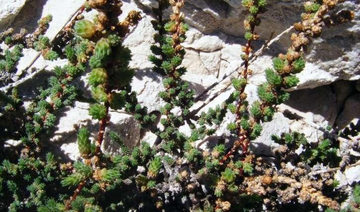 Camphorosma monspeliaca (Linné, 1758)