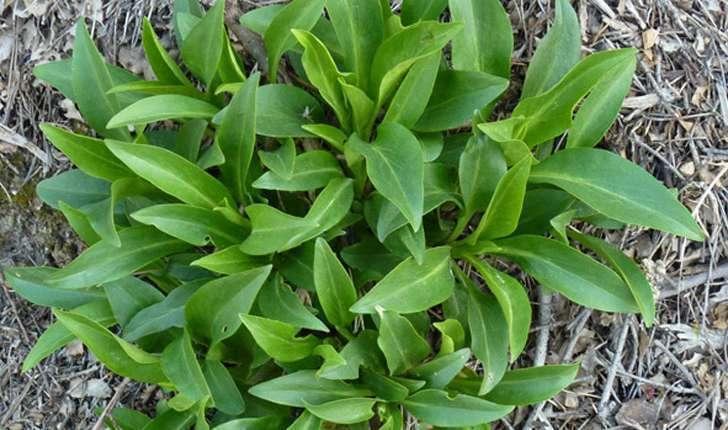 Centranthus ruber (A. Pyr. De Candolle, 1805)