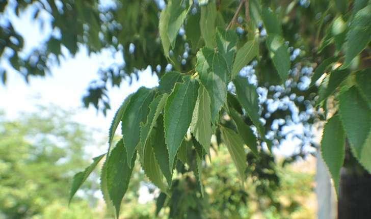 Celtis australis (L., 1753)