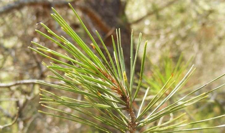Pinus halepensis (Miller, 1768)