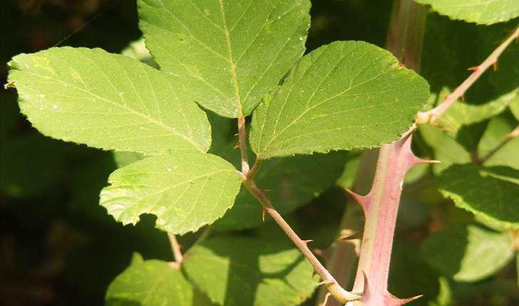 Rubus sp (L., 1753)