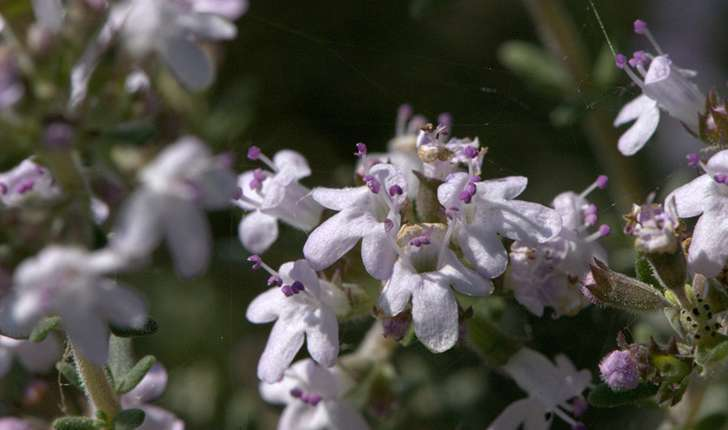 Thymus vulgaris (Linné, 1753)