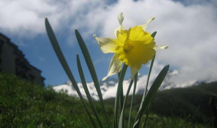 Narcissus pseud-narcissus L.