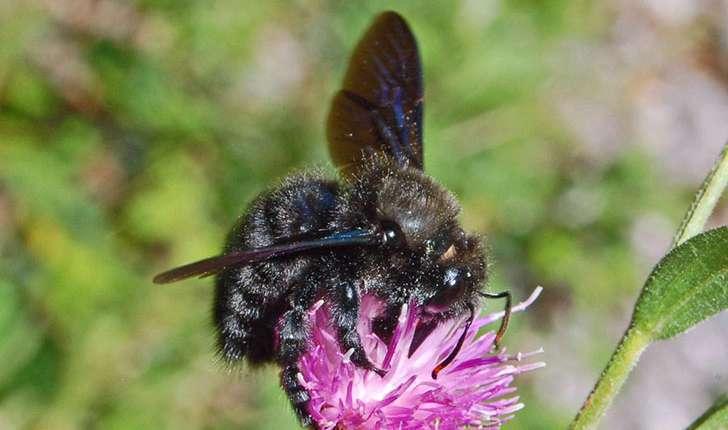 Xylocopa violacea (Linnaeus, 1758)