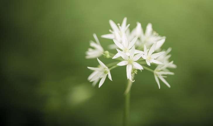 Allium ursinum (L., 1753)