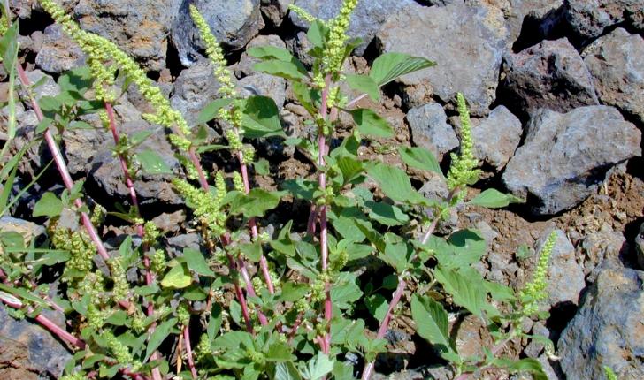 Amaranthus hybridus L., 1753