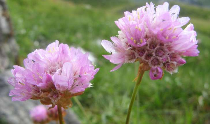 Armeria alpina Willd., 1809
