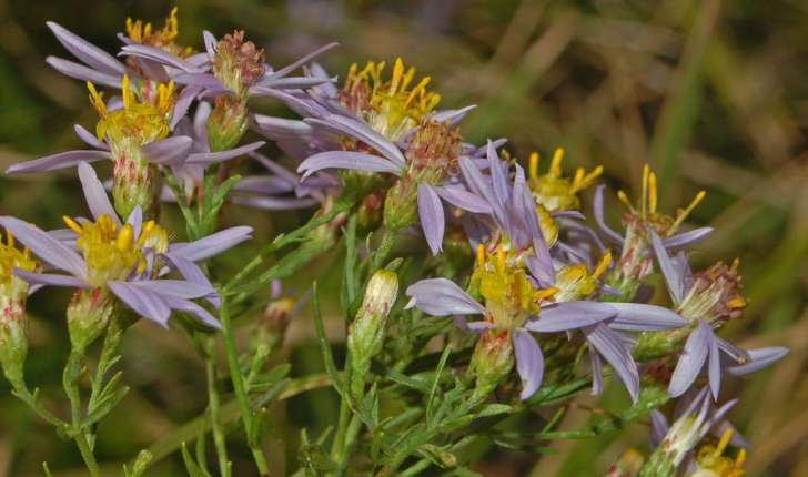 Aster sedifolius (L.)
