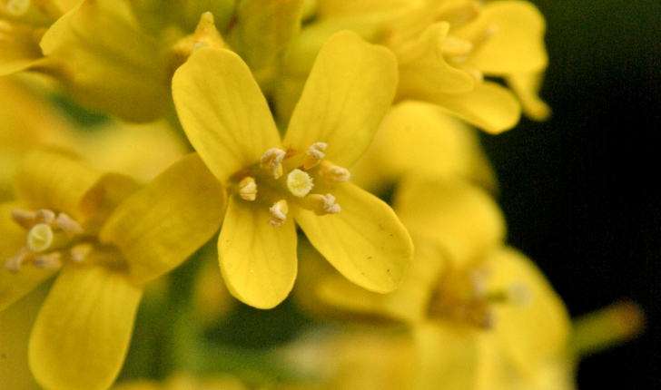 Barbarea vulgaris (W.T.Aiton, 1812)