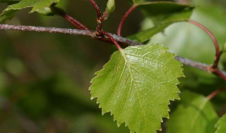 Betula pendula, syn. B. verrucosa (Roth.)