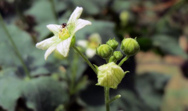 Bryonia cretica subsp. dioica (Tutin, 1968)