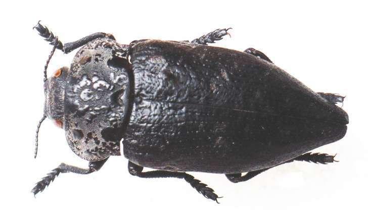 Capnodis sp