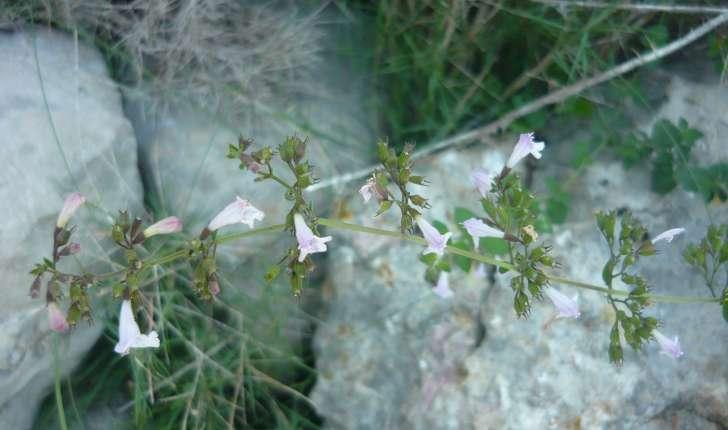 Calamintha nepeta (Kuntze 1891)