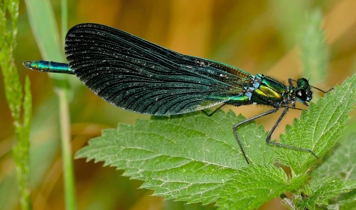Caloptérix-vierge-crédit-Bernard-DUPONT-Flickr