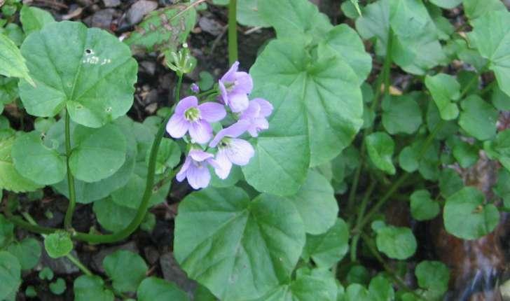 Cardamine raphanifolia Pourr. ou Cardamine pyrenaica (L. ex Loefl.) Rothm.