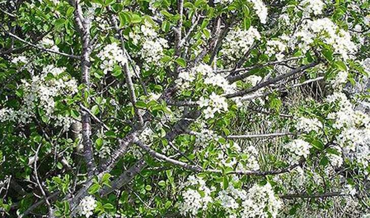 Prunus mahaleb (L., 1753)