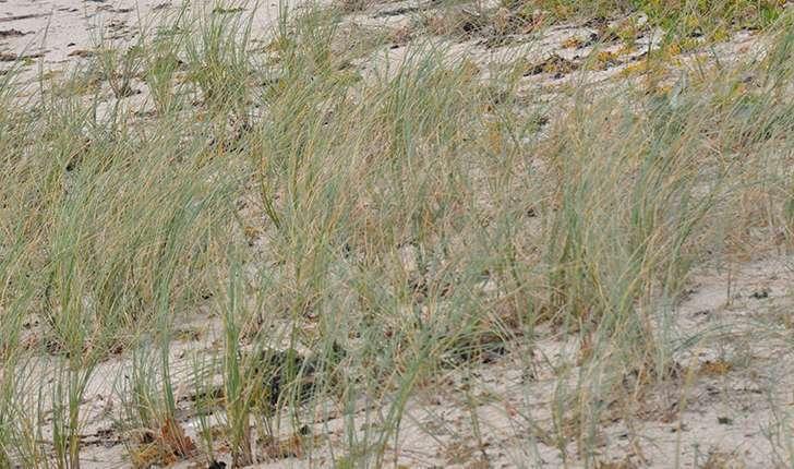 Chiendent des sables (Crédits: Nathalie Delliou)