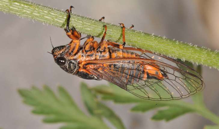 cicadetta montana (Scopoli, 1172)