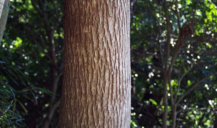 Cinnamomum camphora L.