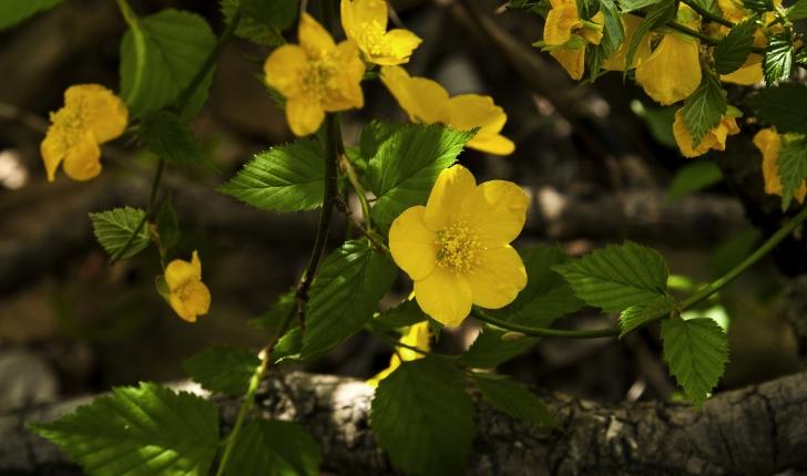 Kerria japonica (L.) DC., 1818