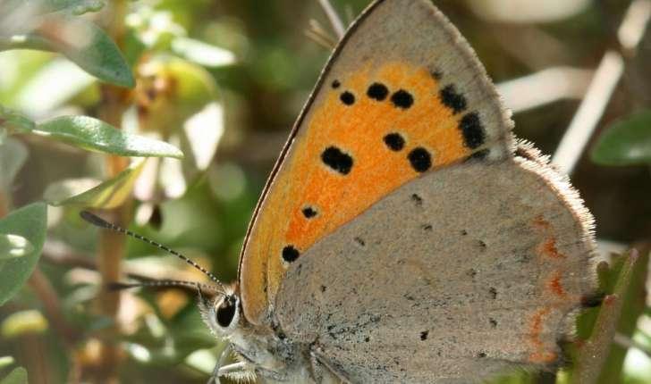 Lycaenidae