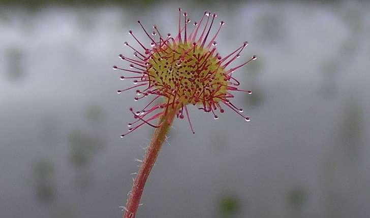 Drosera rotundifolia (L., 1753)