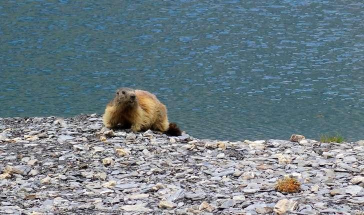Marmota marmota (Linnaeus, 1758)