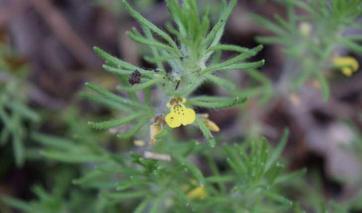 Ajuga chamaepitys (L.) Schreb.