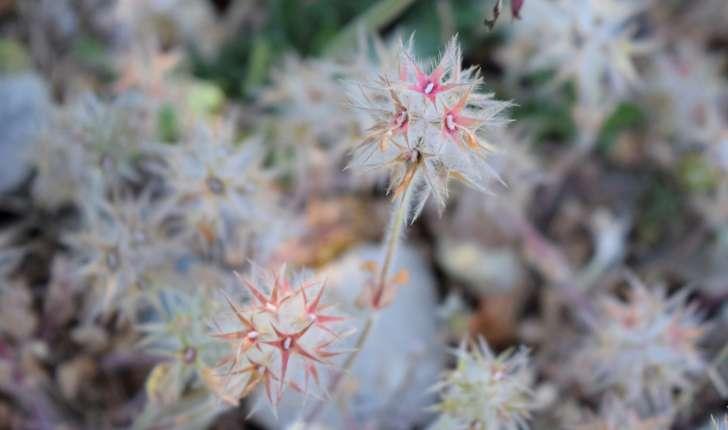 Trifolium stellatum L., 1753