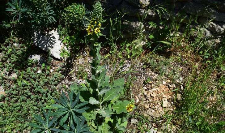 Verbascum nigrum L., 1753