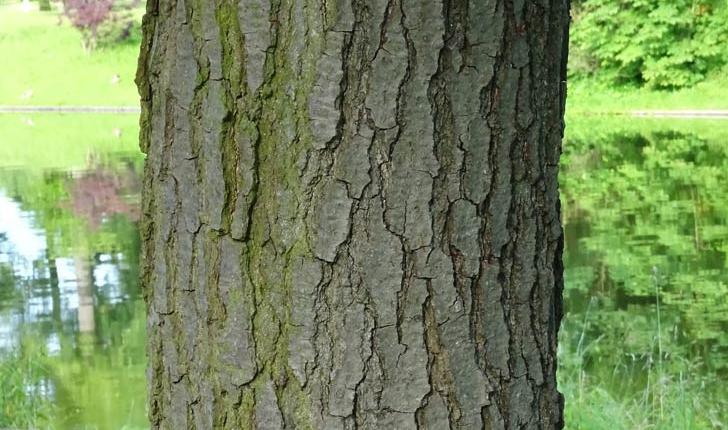 Alnus cordata (Loisel) Duby, 1828