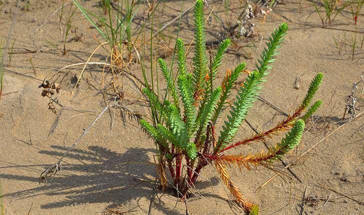 Euphorbia paralias (L., 1753)