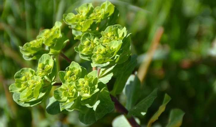 Euphorbia helioscopia (L.1753)