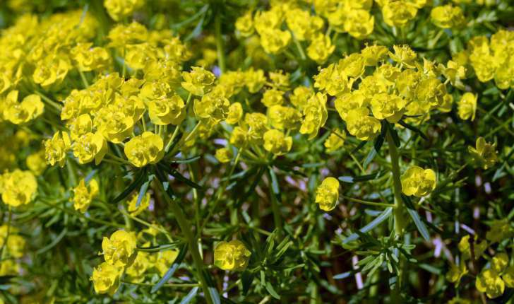 Euphorbia cyparissias (L., 1753)