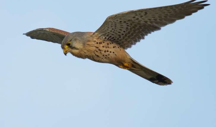 Falco tinnunculus (Linné, 1758)