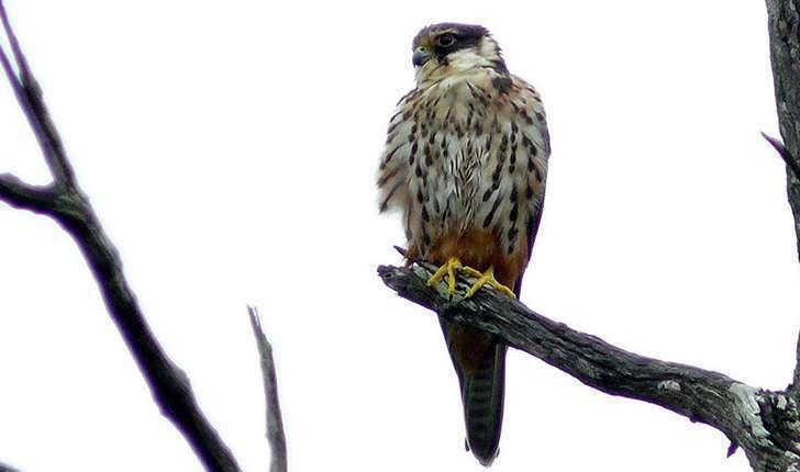 Falco subbuteo (Linnaeus, 1758)