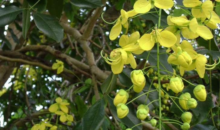 Cassia fistula (L., 1753)
