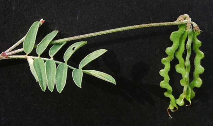 Hippocrepis comosa (L., 1753)