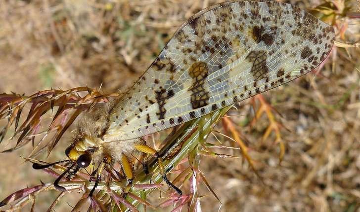 Palpares libelluloides (Linné, 1764)